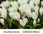 white crocuses growing on the... | Shutterstock . vector #1084264832