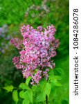 pink lilac flowers blossom... | Shutterstock . vector #1084286078