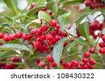 Cotoneaster 'hybridus Pendulus...