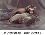 ferret mother take care of her... | Shutterstock . vector #1084309556