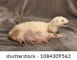 ferret mother take care of her... | Shutterstock . vector #1084309562