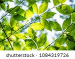 green leaves in sunny weather.... | Shutterstock . vector #1084319726