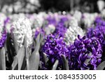 hyacinth flowers  purple color...   Shutterstock . vector #1084353005