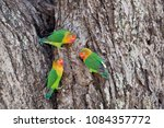 Fisher S Lovebirds In Ndutu Nc...