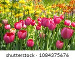 colourful fresh spring tulips... | Shutterstock . vector #1084375676