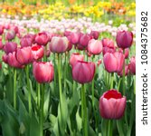 colourful fresh spring tulips... | Shutterstock . vector #1084375682
