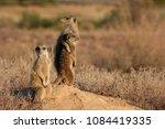 Meerkat Friends Hugging Each...