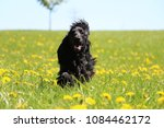 Black Cocker Spaniel Is Runnin...