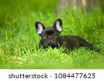 french bulldog puppy | Shutterstock . vector #1084477625