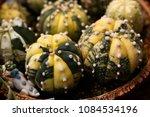 astrophytum asterias variegated | Shutterstock . vector #1084534196
