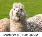 Stock photo a white funny alpaca 1084600955