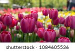 colorful fresh spring tulips... | Shutterstock . vector #1084605536