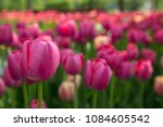 colorful fresh spring tulips... | Shutterstock . vector #1084605542