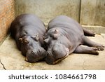 close up of two hippopotamus... | Shutterstock . vector #1084661798