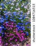 edging lobelia  lobelia erinus  ... | Shutterstock . vector #1084716515