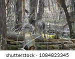 deer in the woods | Shutterstock . vector #1084823345