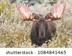 Moose Denali National Park...