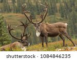 Caribou Taken In Denali...