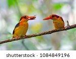 beautiful bird  oriental dwarf...   Shutterstock . vector #1084849196