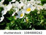 anemone sylvestris  snowdrop... | Shutterstock . vector #1084888262