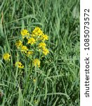 Small photo of blossoming wild plant golden alyssum on meadow