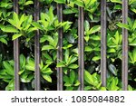 stretching out of lush foliage... | Shutterstock . vector #1085084882