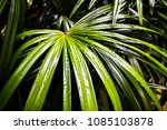 pattern of fresh green leaf of... | Shutterstock . vector #1085103878