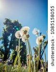 dandelions against the backdrop ... | Shutterstock . vector #1085158055