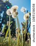 dandelions against the backdrop ... | Shutterstock . vector #1085158058