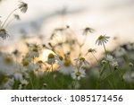 chamomile flower nature...   Shutterstock . vector #1085171456