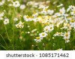 chamomile flowers field in sun...   Shutterstock . vector #1085171462