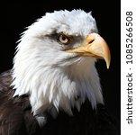 close up of an american bald... | Shutterstock . vector #1085266508