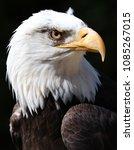 close up of an american bald... | Shutterstock . vector #1085267015