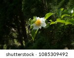 Small photo of Oncoba spinosa Fried egg tree Appearance: 2-4 m tall shrub with trunk and branch. The leaves are 3-4 cm long, 5-6 cm long, the base and the tip of the leaves are sharp, white, scaly, scaly.