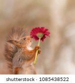 red squirrel is holding a red... | Shutterstock . vector #1085438522