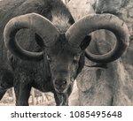 the mountain goat  moufflon