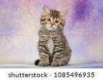 Stock photo one cute siberian kitten on beautiful background 1085496935