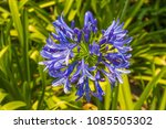 Agapanthus Praecox  Common...