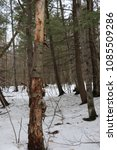 upright Dead tree with bark in winter woods with snow and other green and brown trees