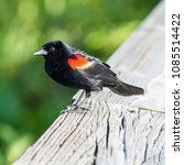 Small photo of Red winged blackbird perches on the handrail to the boardwalk, at Wakodahatchee Wetlands, Florida. The birds are well acclimated to humans, allowing some close views