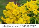 spring blossom of the marsh...   Shutterstock . vector #1085525942
