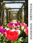 tulips in front of a pergola at ... | Shutterstock . vector #1085546216