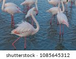 pink big birds greater flamingo ... | Shutterstock . vector #1085645312