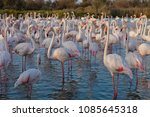 pink big birds greater flamingo ... | Shutterstock . vector #1085645318