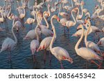 pink big birds greater flamingo ... | Shutterstock . vector #1085645342