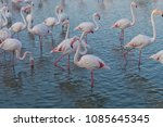 pink big birds greater flamingo ... | Shutterstock . vector #1085645345