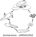 coloring page. life cycle of... | Shutterstock .eps vector #1085652962