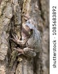 Small photo of Gray treefrog (Hyla versicolor) camouflaging on the bark of elm tree, Iowa, USA.
