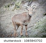 barbary sheep  in natural... | Shutterstock . vector #1085843702