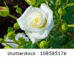 A White Rose Blooming On A...